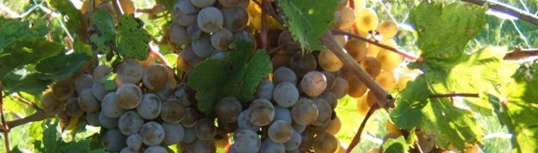 cuthills vineyard